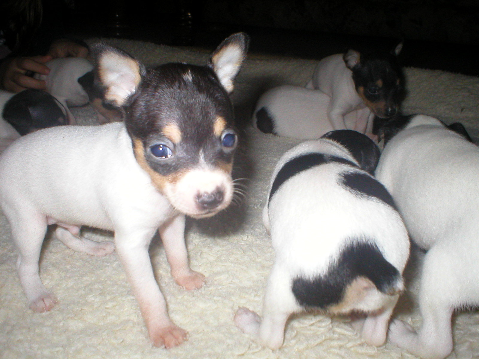 Ct Ads Online Akc Ukc Toy Fox Terrier Puppies For Sale In